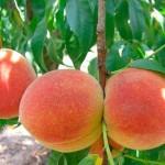 В Приднестровье в этом году соберут хороший урожай персиков
