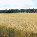 Лидер по урожаю озимой пшеницы стал Рыбницкий район