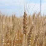 В Приднестровье усилят контроль за урожаем зерна