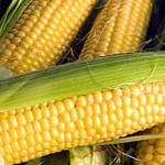 В Приднестровье соберут рекордный урожай кукурузы