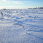 Заморозки пока не сказались на урожае озимых в Приднестровье