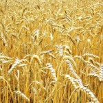 В Приднестровье выбирают лучшие сорта озимой пшеницы
