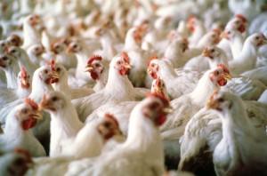 Первую партию мяса выпустила григориопольская птицефабрика