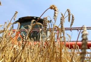 В Приднестровье завершилась уборка зерновых и зернобобовых