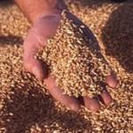В ПМР собрали рекордный урожай зерновых и зернобобовых