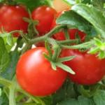 В Каменском районе собрали рекордный урожай овощей