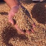 В ПМР почти собрали зерновые
