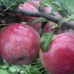 В Каменском районе собрали более половины урожая яблок