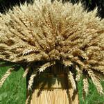Свыше 115 тысяч тонн зерна собрали в Григориопольском районе
