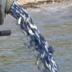 Свыше 40 тонн малька было выпущено в водоемы ПМР