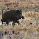 В ПМР начата выдача разрешений на охоту на кабана 2016