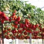 Фермеры ПМР осваивают новые технологии выращивая клубники
